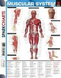 Muscularsystem