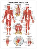 Muscular System Wall Chart - Paper