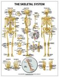 Skeletal System Wall Chart - Paper