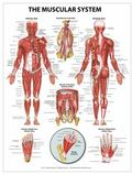 Muscular System Wall Chart - Peel and Stick