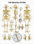 Skeletal System Wall Chart - Peel and Stick