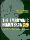 Embryonic Human Brain