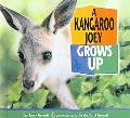 Kangaroo Joey Grows Up