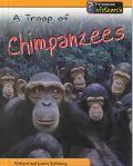 Troop of Chimpanzees