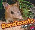 Bandicoot (Australian Animals)