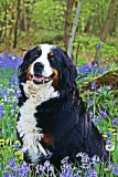 Bernese Mountain Dog: Dog Lover's Journal/Notebook/Diary (Volume 7)